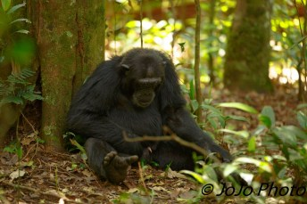 Chimpanzee (just checking out my wiener) in Kibale National Park