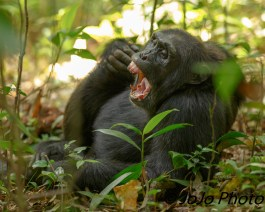 "Chimpanzee in Kibale National Park - ""I need a nap."""