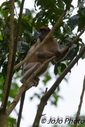 Red Colobus Monkey at Kibale Forest Camp