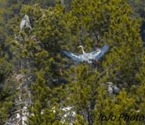 Great Blue Heron Rookery in Hayden Valley