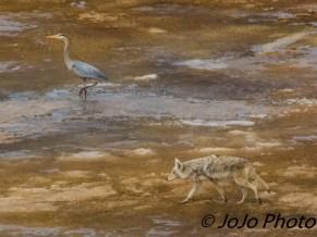 Coyote with Great Blue Heron in the Hayden Valley