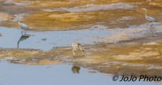 Coyote and Great Blue Herons in the Hayden Valley