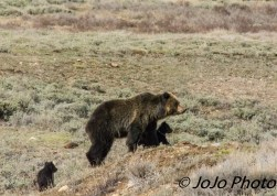 Quad Mom and her 3 Cubs at Swan Lake Flats