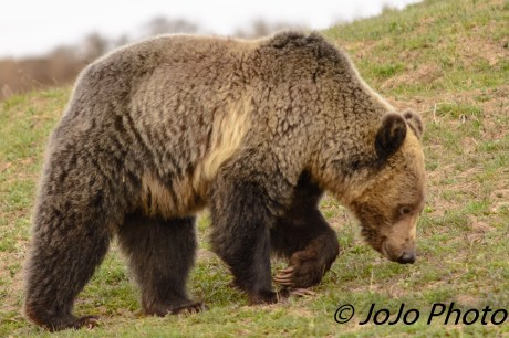Grizzly sniffing the ground in Hayden Valley