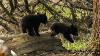 Two of Rosie's Three Cubs