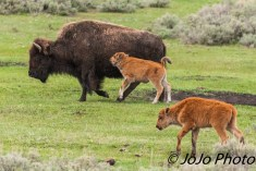 Bison with her calf and a buddy.