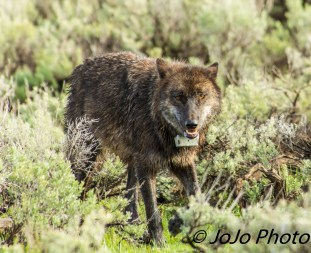 Wolf #889F in Lamar Valley - Wow! She's close!
