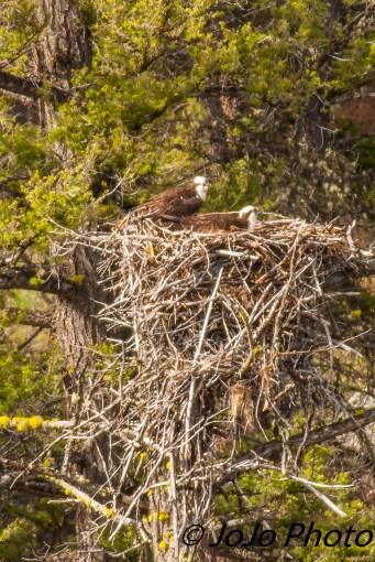 Osprey at Lamar Canyon
