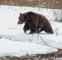 Here comes Beau Grizzly Bear - He's Mr. Oblivious