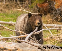 Grizzly at Mud Volcano
