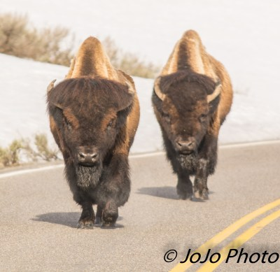 Bison are King of the Road