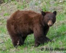 Cinnamon-colored bear at Rainy Lake