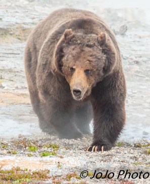 Beau Grizzly Bear at Mary Bay - Wow he's close and he looks like he's been in a fight!