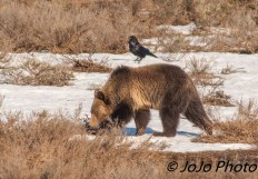 Grizzly and raven in Hayden Valley