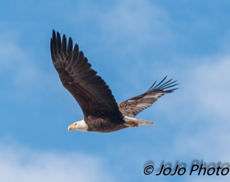 Bald Eagle in Hayden Valley