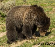 Grizzly, sniffing for something to eat, in Hayden Valley