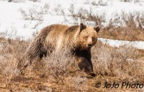 """Hello!"" Grizzly in Hayden Valley"