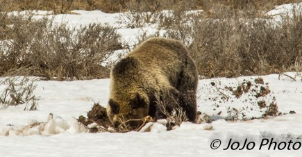Grizzly in Hayden Valley foraging