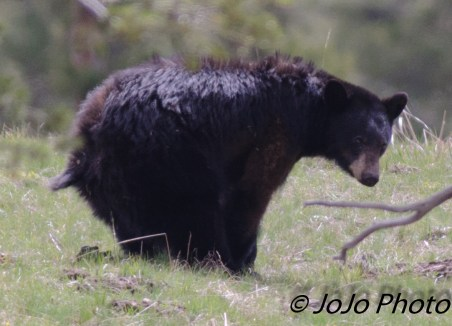 Do bears poop in the woods? The answer is, YES. Bear across from Elk Creek