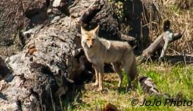 Coyote at Floating Island Lake