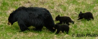 Rosie with her three cubs following.