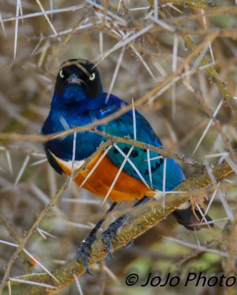 Superb Starling in Tarangire National Park