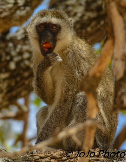 Black-Faced Vervet Monkey in Tarangire National Park eating fruit