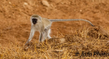 Black-Faced Vervet Monkey in Tarangire National Park