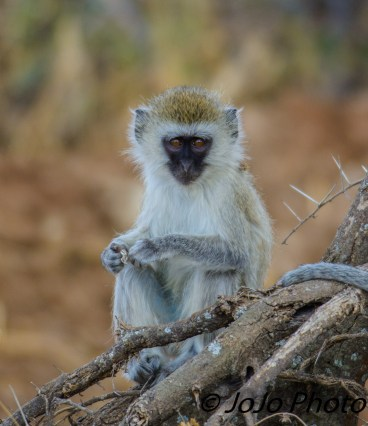 Black-Faced Vervet Monkey Baby in Tarangire National Park