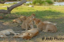 Lions grooming in Serengeti National Park