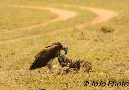 Lappet-faced vulture on a wildebeest carcass in Serengeti National Park