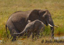 Elephant with Calf in Serengeti National Park