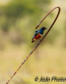 Superb starling at Chaka Camp in Serengeti National Park