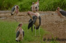 Marabou stork flock in Serengeti National Park