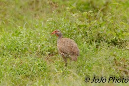 Grey-breasted Spurfowl in Serengeti National Park