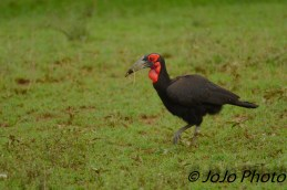 Ground Hornbill in Serengeti National Park