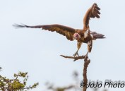Lappet-faced Vulture landing on branch in Serengeti Nat'l Park