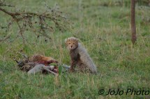 Cheetah cub with wildebeest carcass in Serengeti National Park