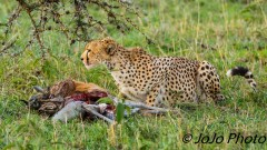 Cheetah with wildebeest carcass in Serengeti National Park