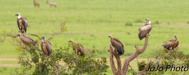Ruppell's Vulture seen from Hot Air Balloon Ride in Serengeti
