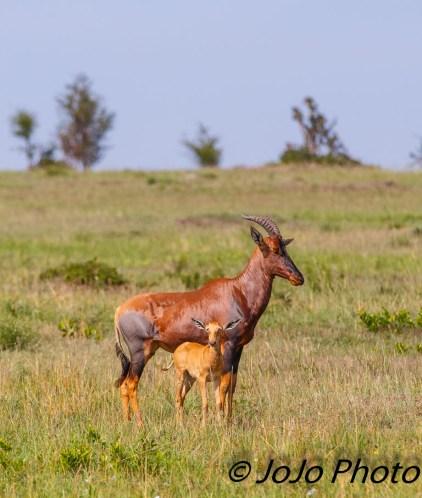 Topi and Calf near Mara River in Serengeti