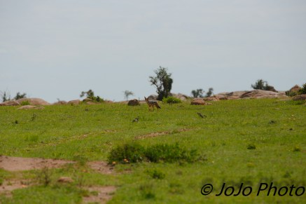 Black-backed Jackal in Serengeti