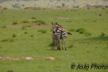 Zebra nursing Foal in Serenget