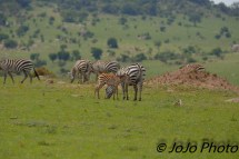Zebra Dazzle and Foal in Serengeti