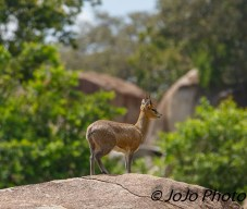 Klipspringer in Serengeti