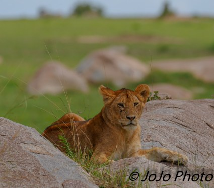Lioness in Serengeti