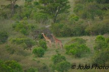 Giraffes seen from Hot Air Balloon in Serengeti