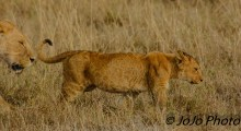 Lioness and cub in Ngorongoro Crater