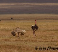 Masai Ostriches courting in Ngorongoro Crater