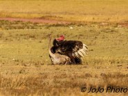 Masai Ostriches mating in Ngorongoro Crater